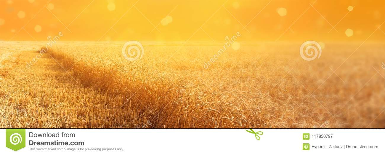 View of field of rye with beveled stripbeveled strips during harvesting at sunset. Summer agriculture rural background. Panoramic