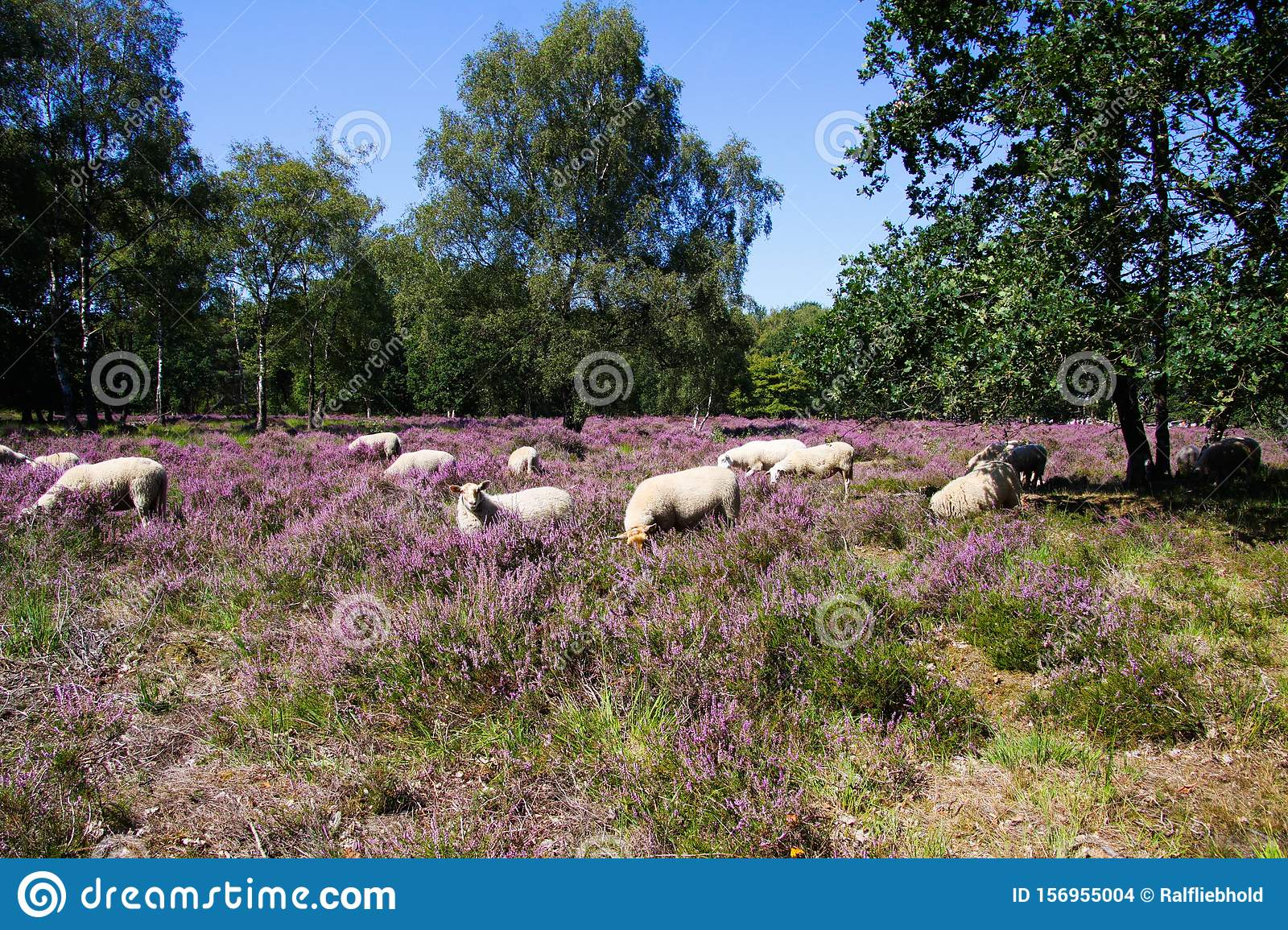 View on herd of sheep grazing in glade of dutch forest heathland with purple blooming heather erica plants Ericaceae