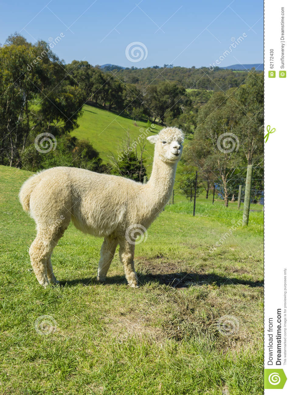 View of huacaya alpaca in a farm stock photo image 62172430 for Alpacas view farm cuisine