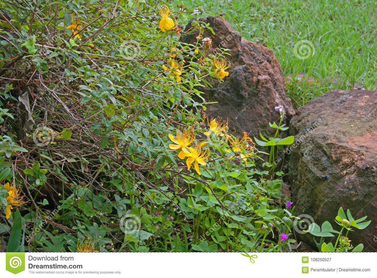 Hypericum Shrub With Yellow Flowers In A Garden Stock Image Image