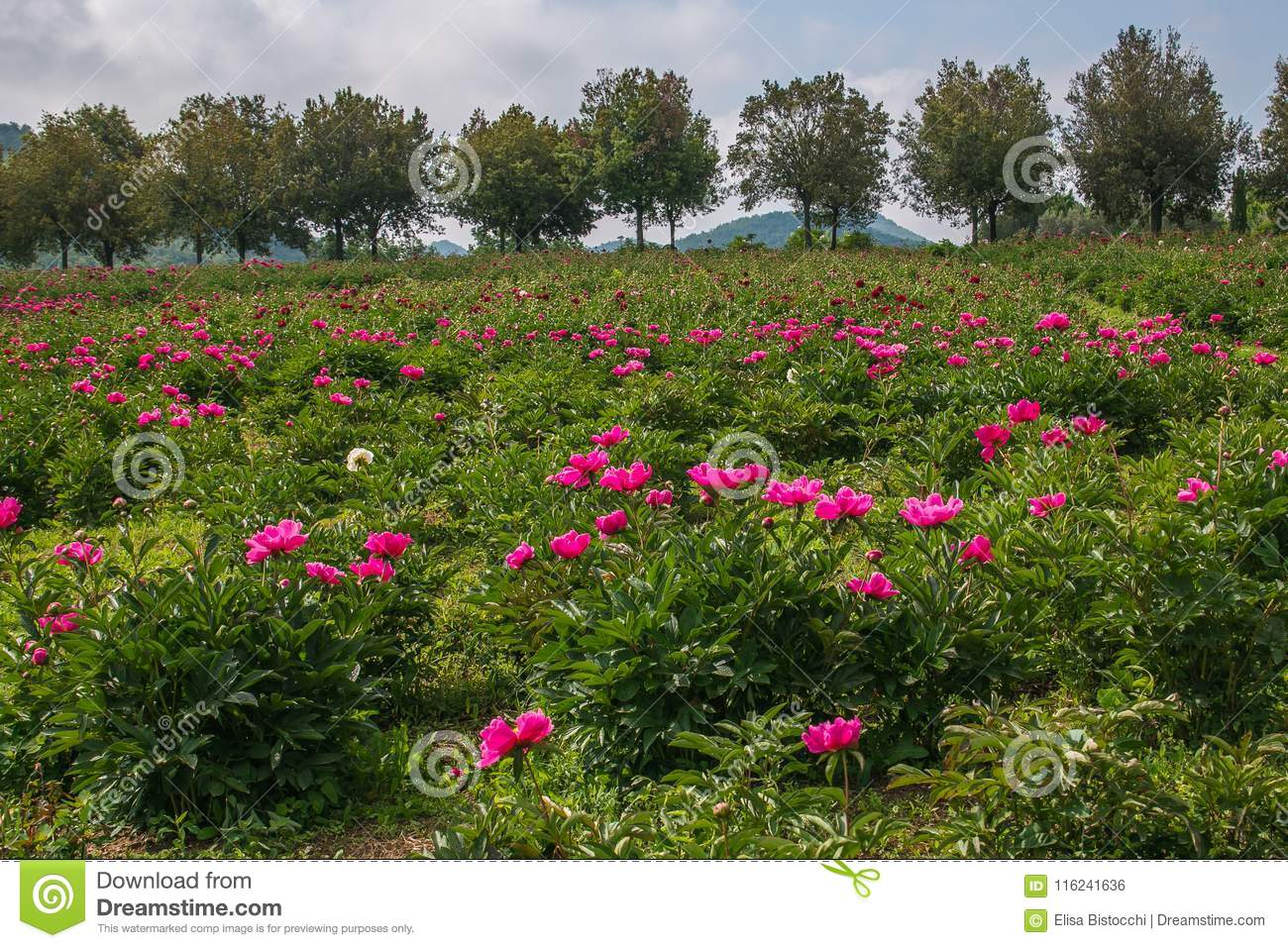 View Of Italian Hill With Peony Flowers In The Spring Season Stock