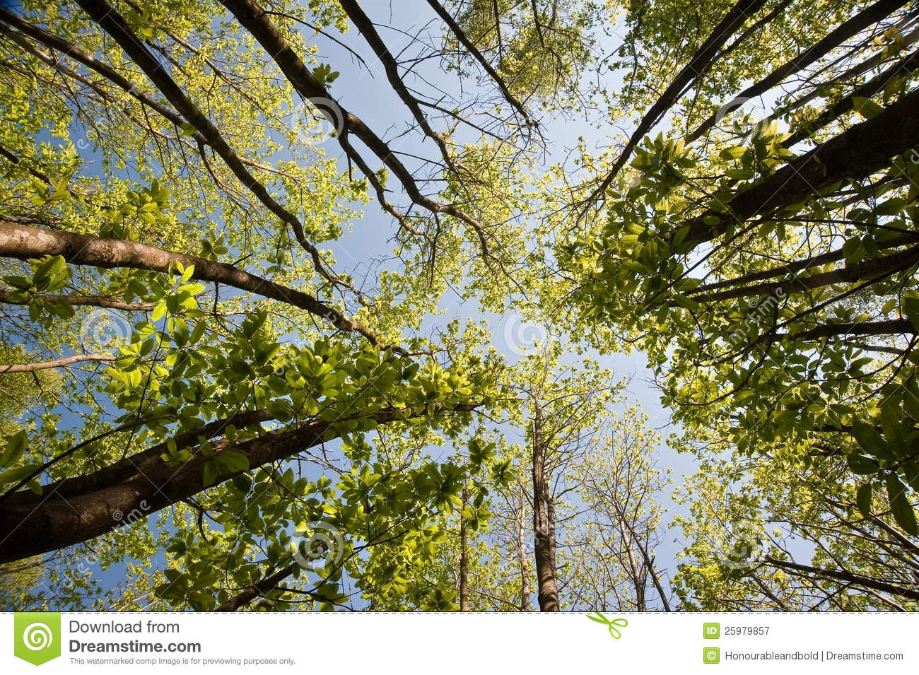 View looking up through canopy of beech trees & View Looking Up Through Canopy Of Beech Trees Stock Image - Image ...