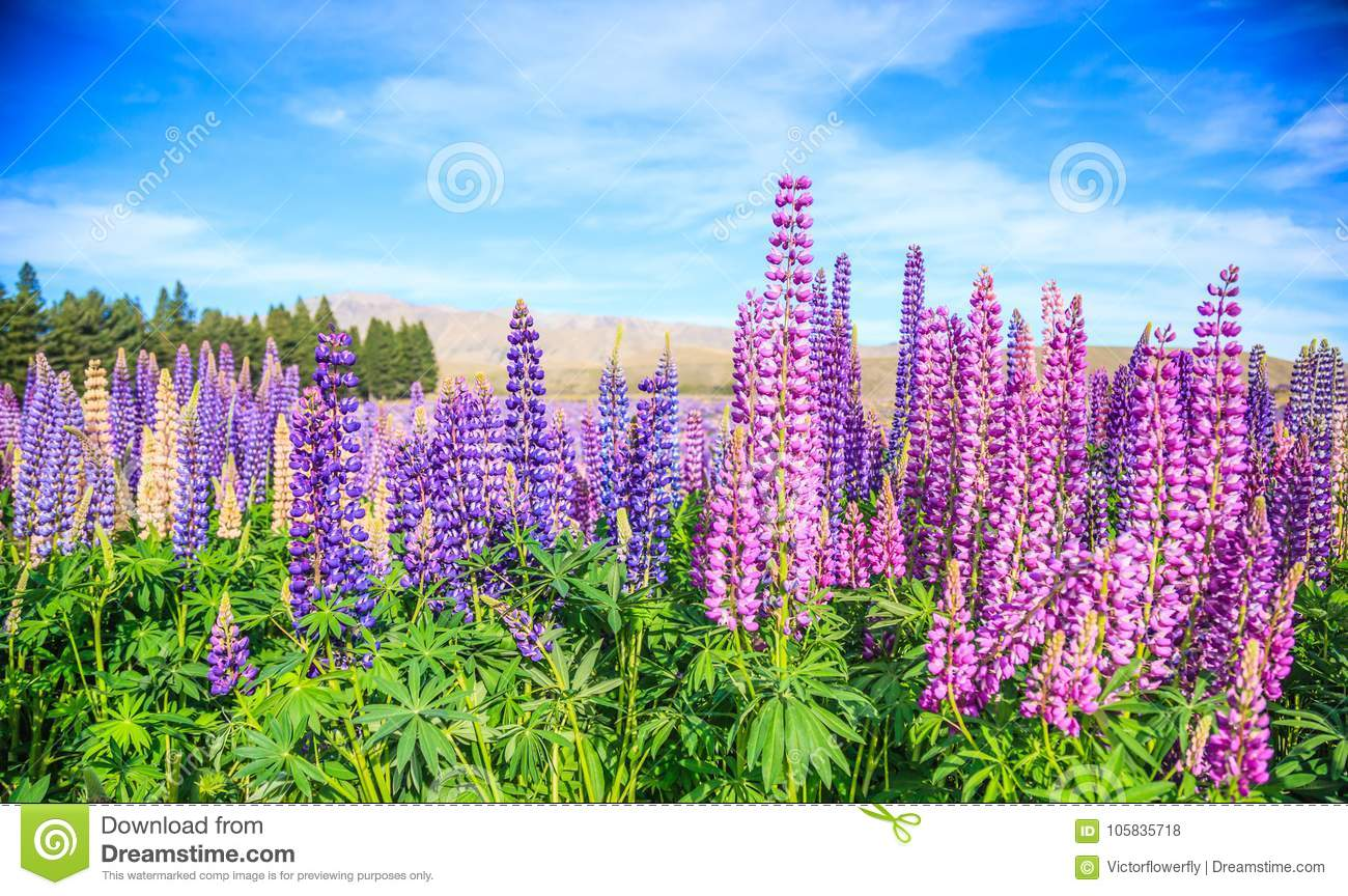 View of Lupin Flower Field near Lake Tekapo Landscape, New Zealand. Various, Colorful Lupin Flowers in full bloom
