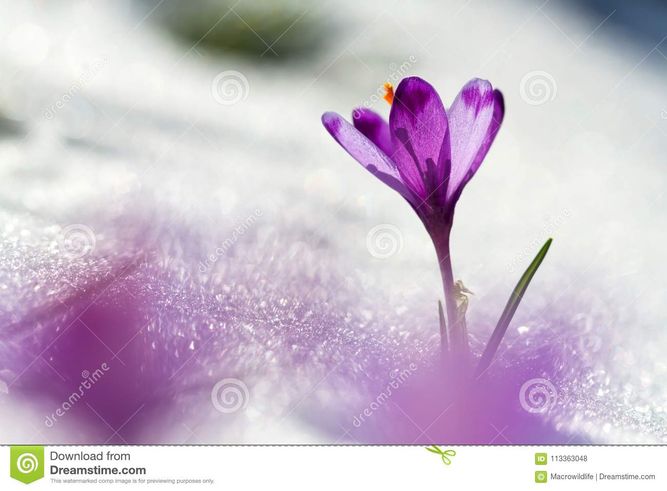 View Of Magic Blooming Spring Flowers Crocus Growing From Snow In