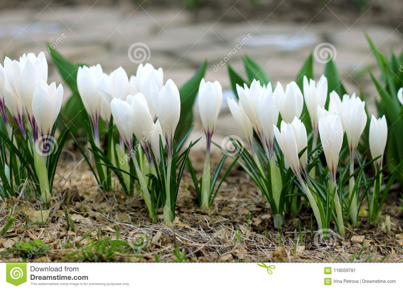 The First Spring Flowers White Crocuses Blossomed Stock Image