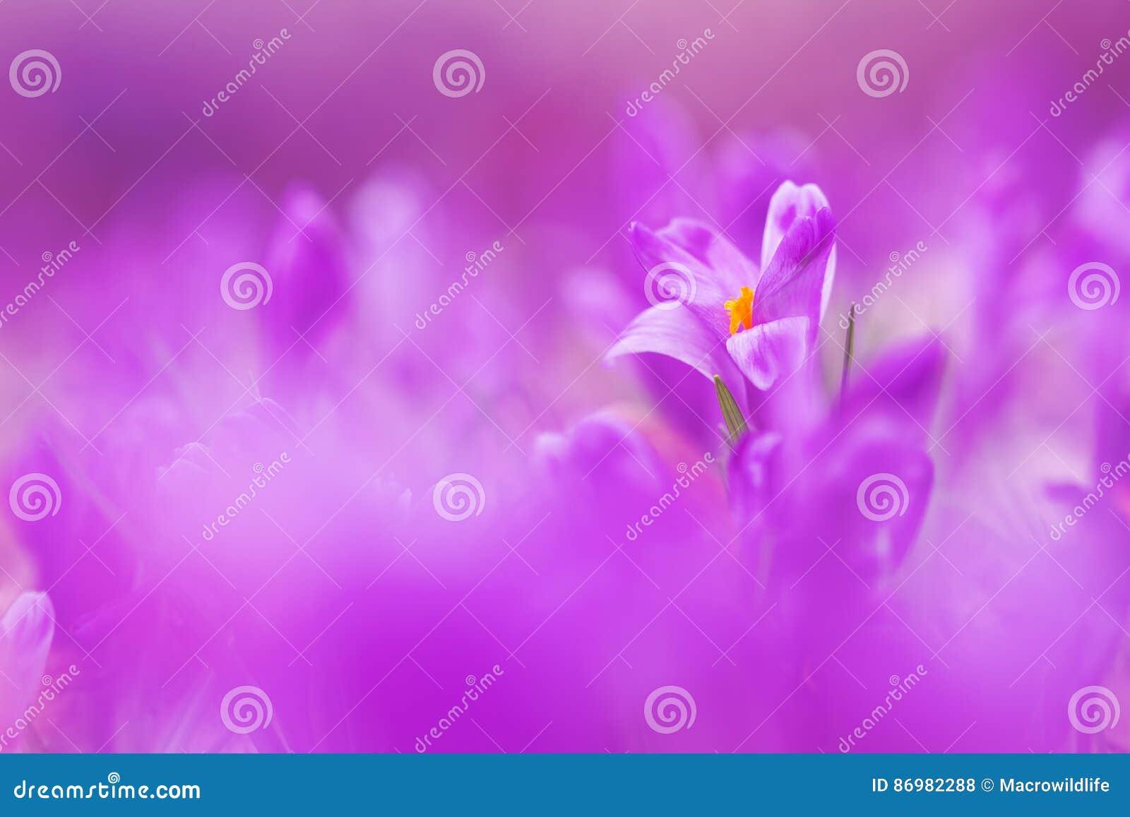 View of magic violet blooming spring flowers crocus growing in wildlife. Beautiful macro photo of wildgrowing crocus in soft viol