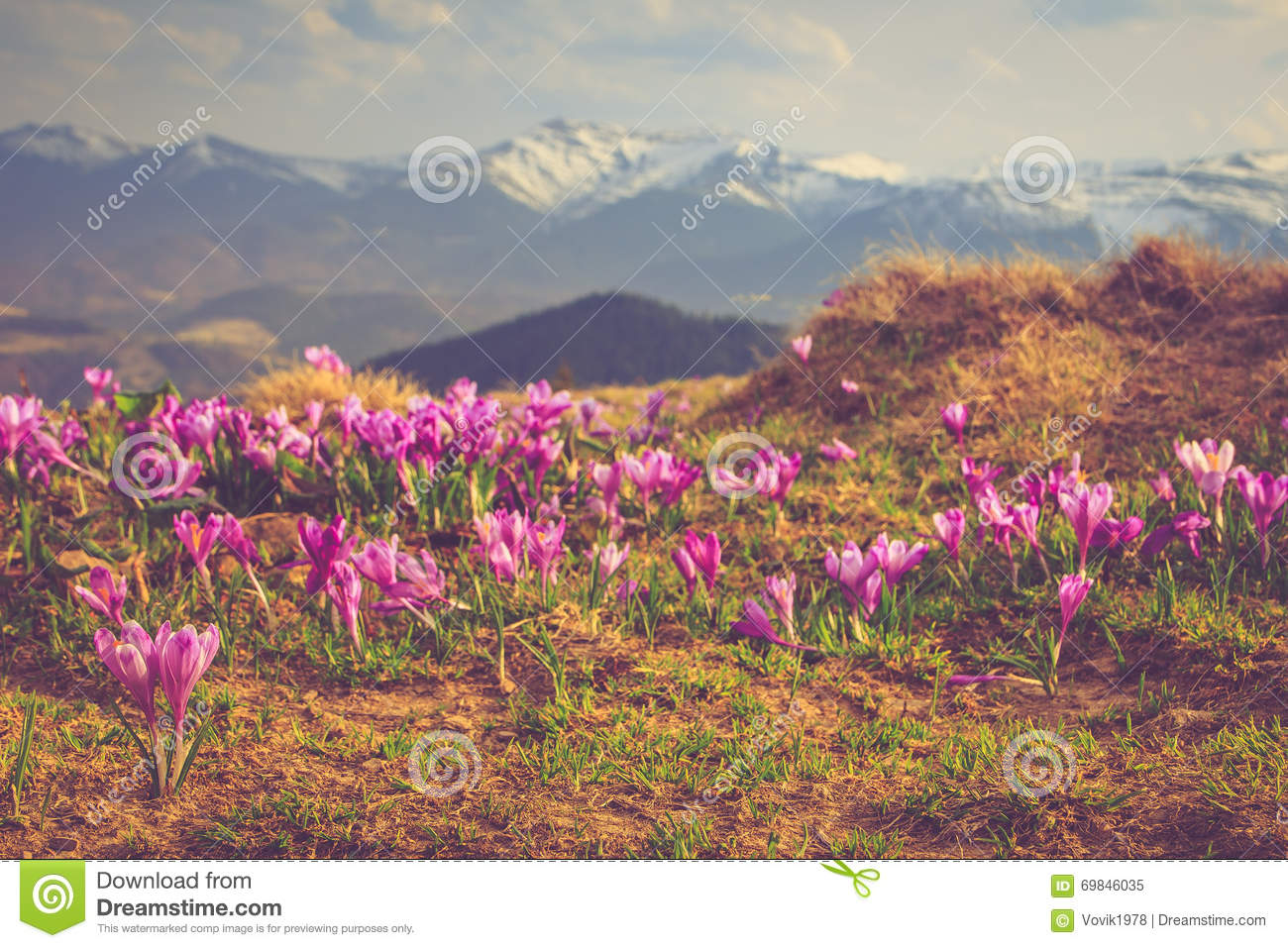 View of a meadow of blooming crocuses in the mountains.