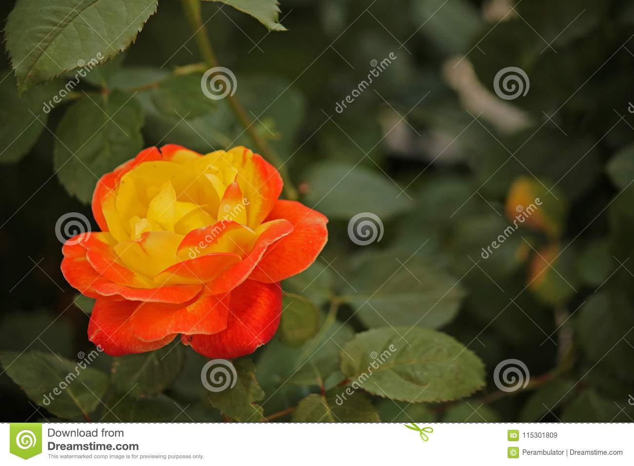 two toned yellow and red rose stock image image of bright light