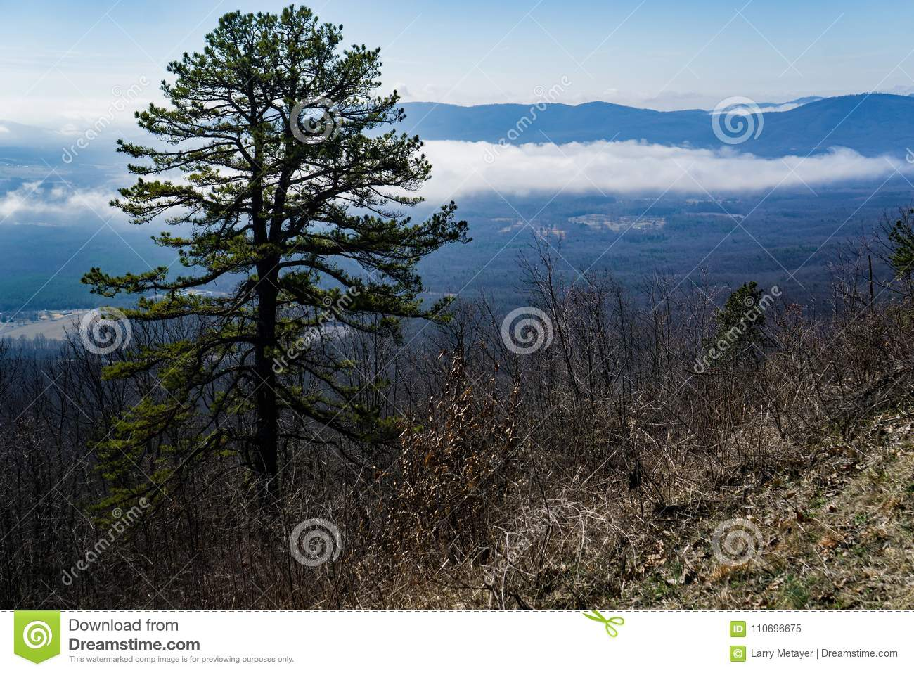 View of a Pine Tree and Foggy Valley