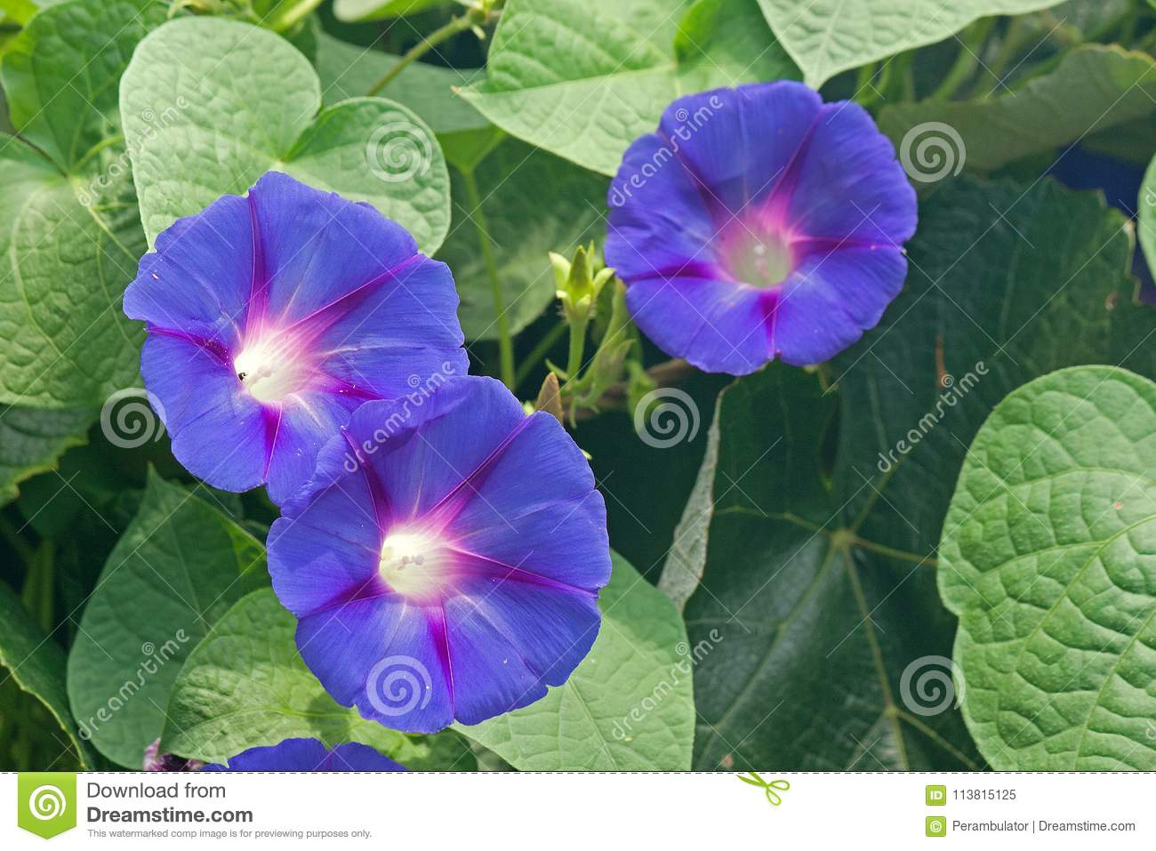 Blue Morning Glory Flowers Entwined With Grape Vine Stock Image