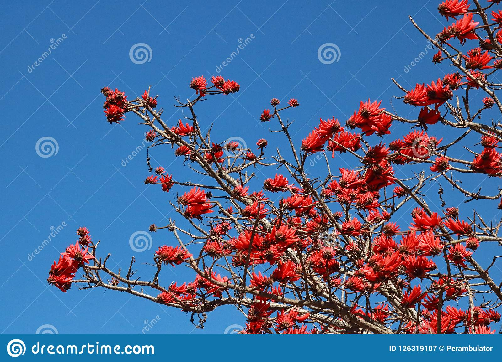 View of red flowers blooming on an Erythrina tree against a blue sky.