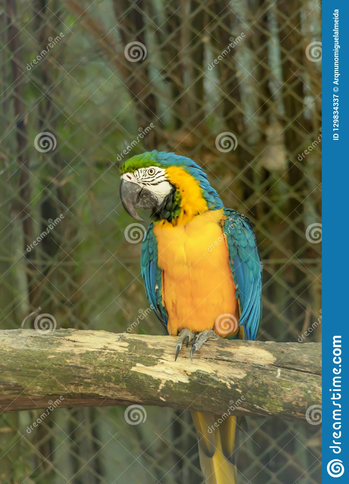Yellow and blue ara macaw on perch