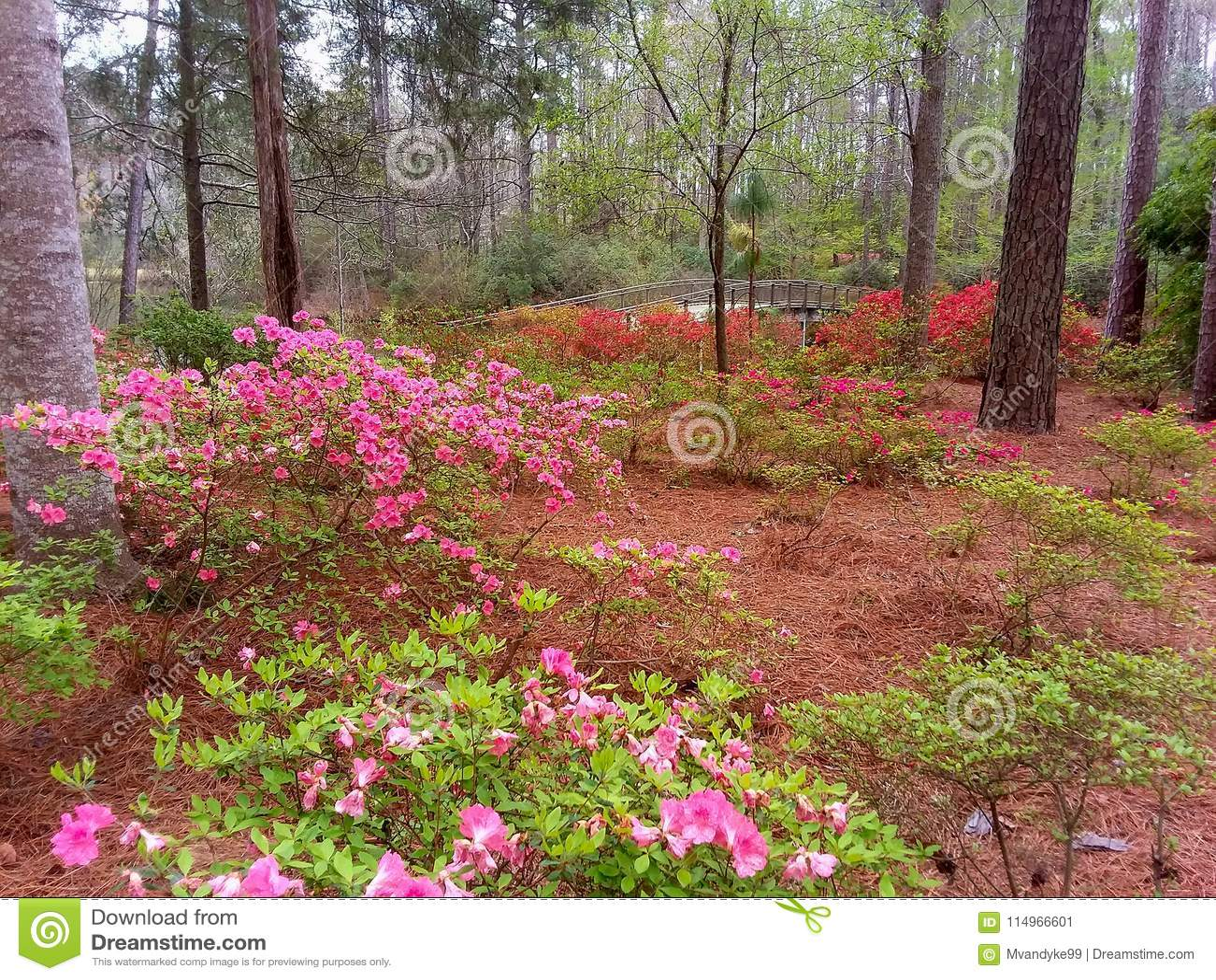 Spring Azaleas Callaway Gardens Pine Mountain Georgia Stock Image ...