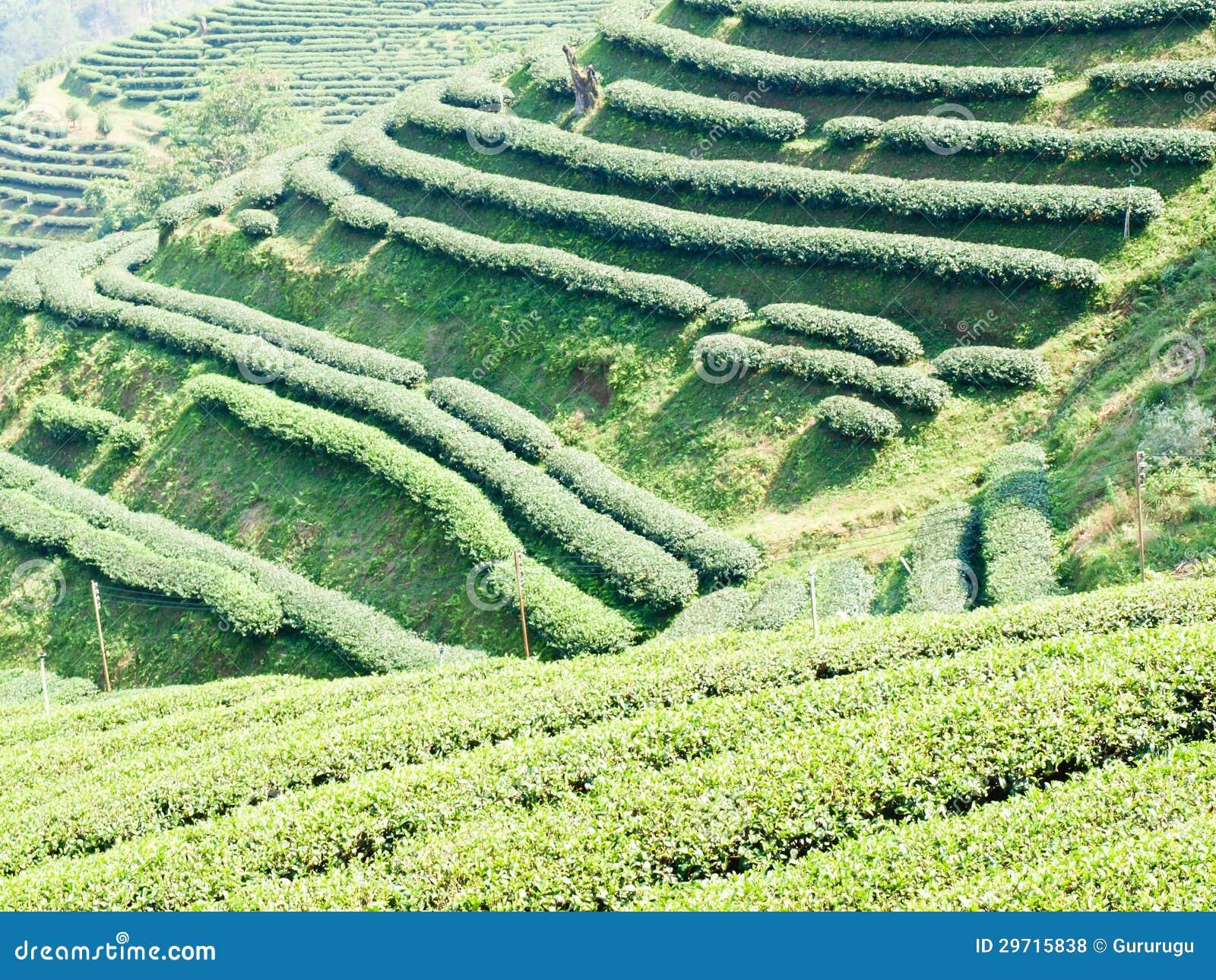 Mae Salong (Chiang Rai) Thailand  city photo : Tea Plantation On Mae Salong Hill In Chiang Rai, Thailand Royalty Free ...