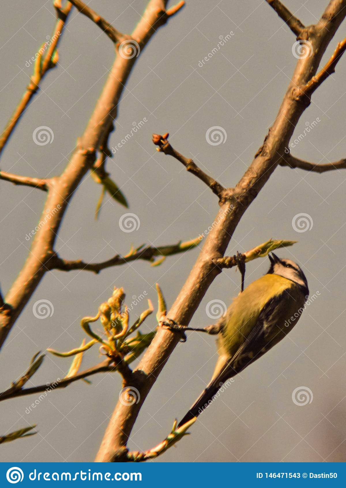 Tit pecking spring buds on pearwood works