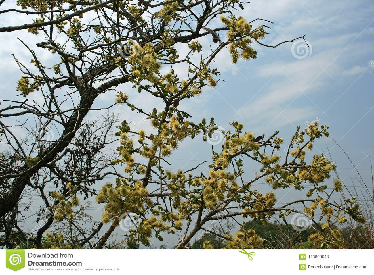 Yellow Fluffy Flowers On Tree At The Beginning Of Spring Stock Photo
