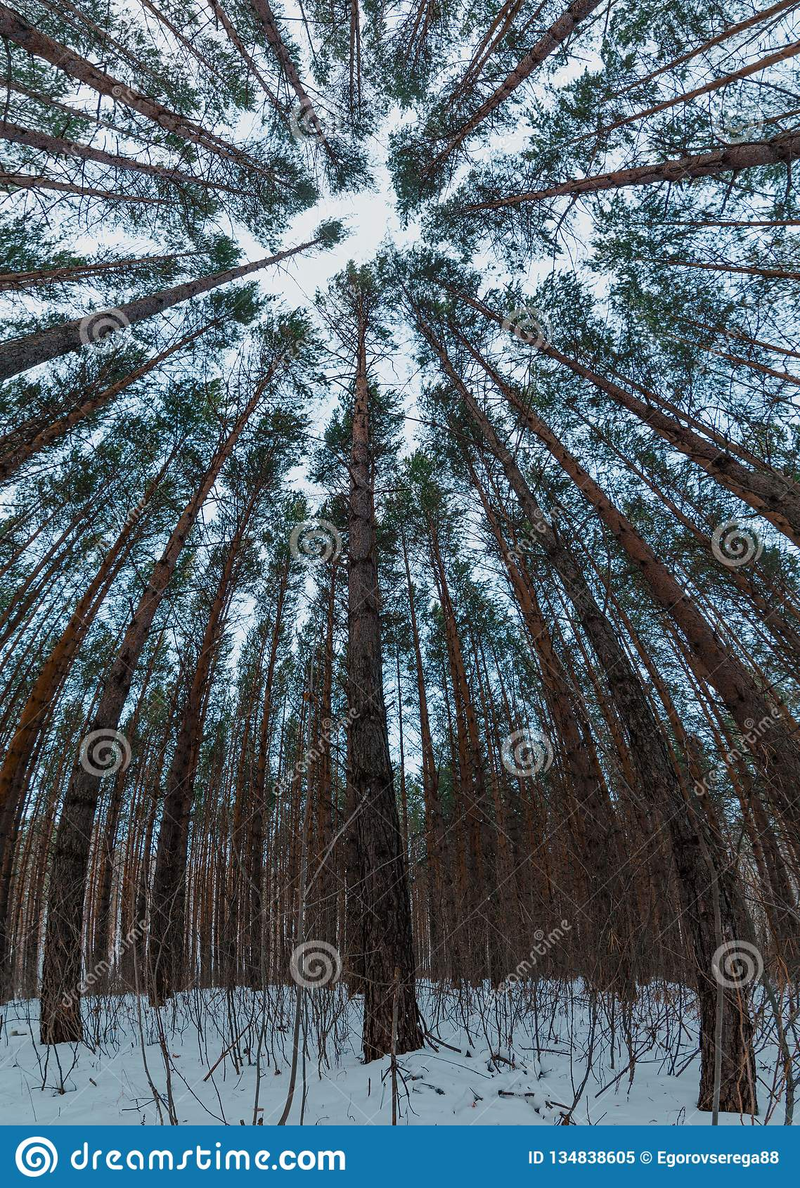 View of winter pine forest tree tops to canopy with snow in the foreground. Bottom View Wide Angle Background