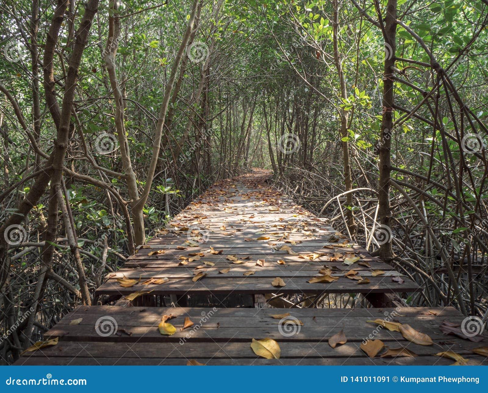 View of wood bridge in Mangrove forest, Phetchaburi, Thailand