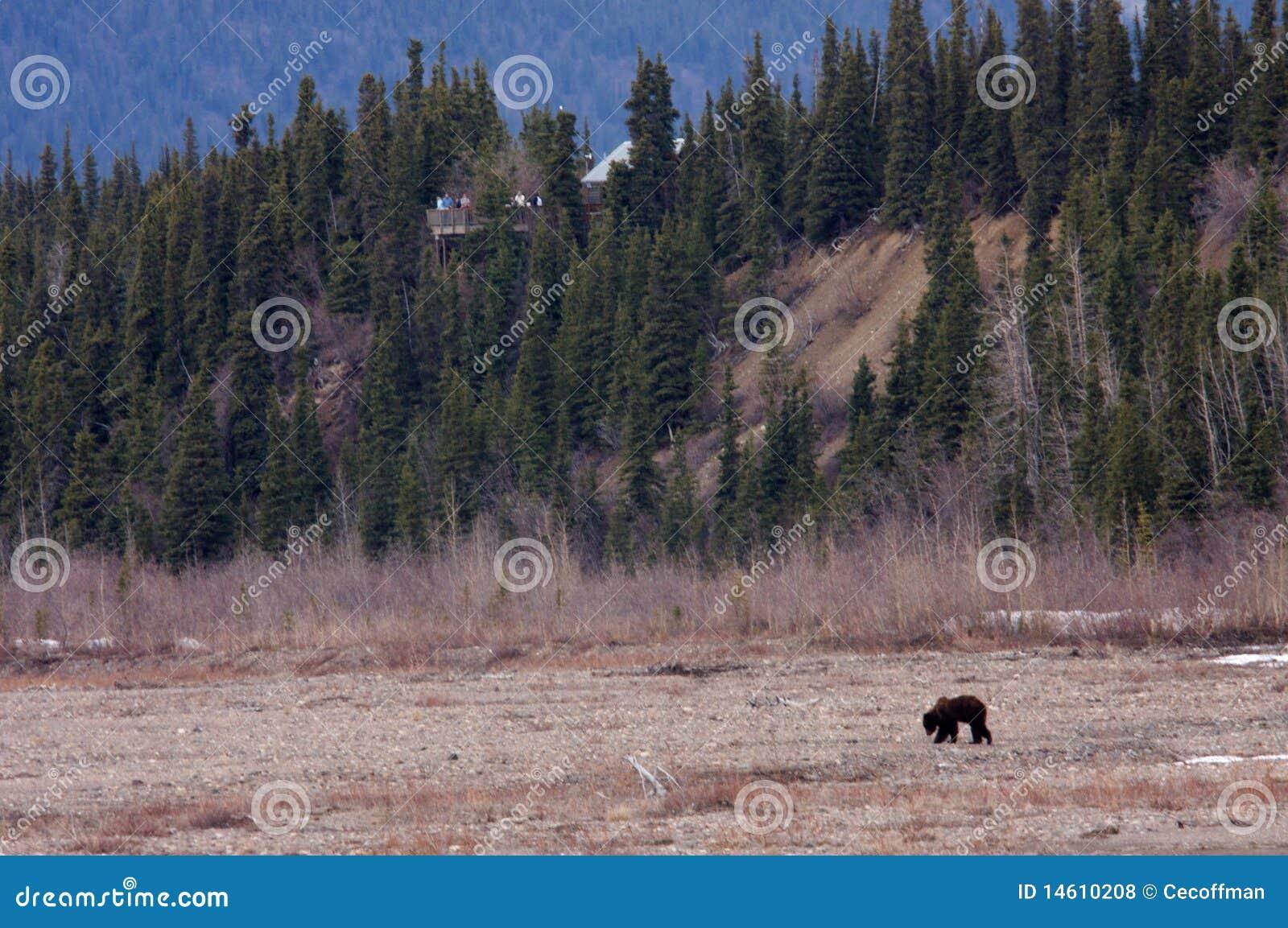Viewing национального парка denali медведя