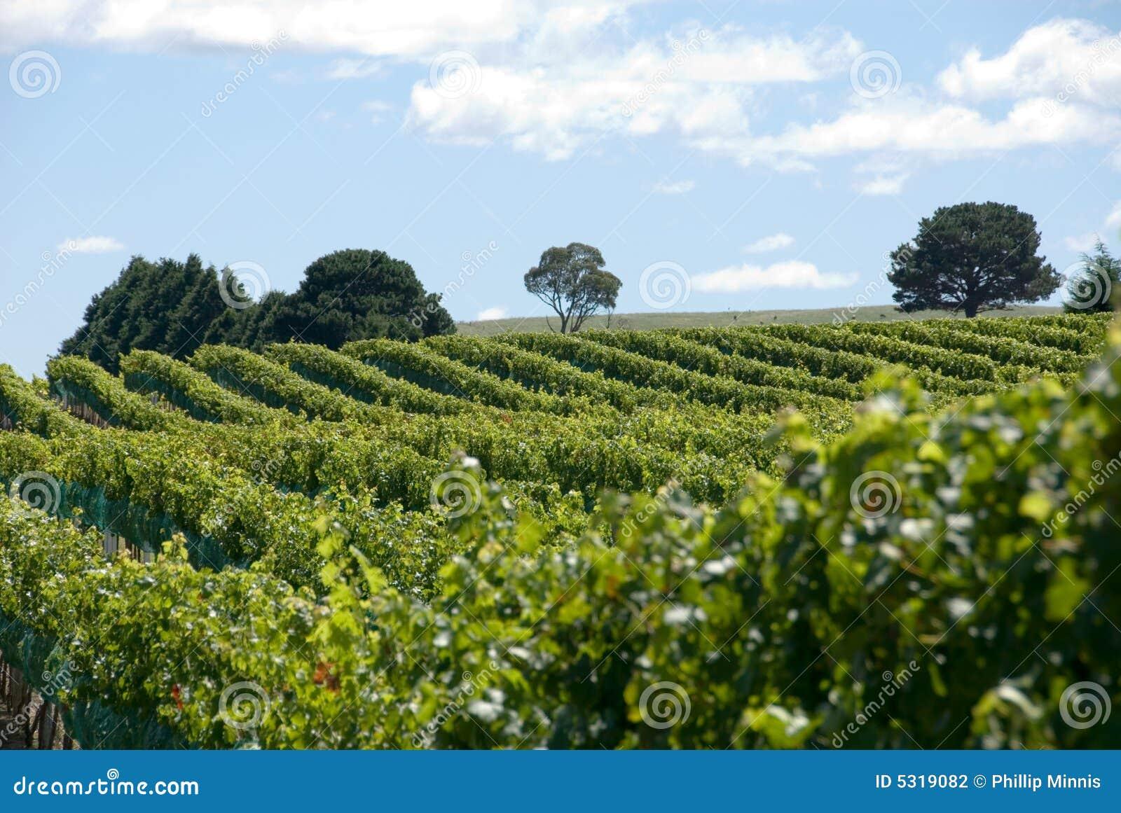 Download Vigna fotografia stock. Immagine di viticoltura, freddo - 5319082