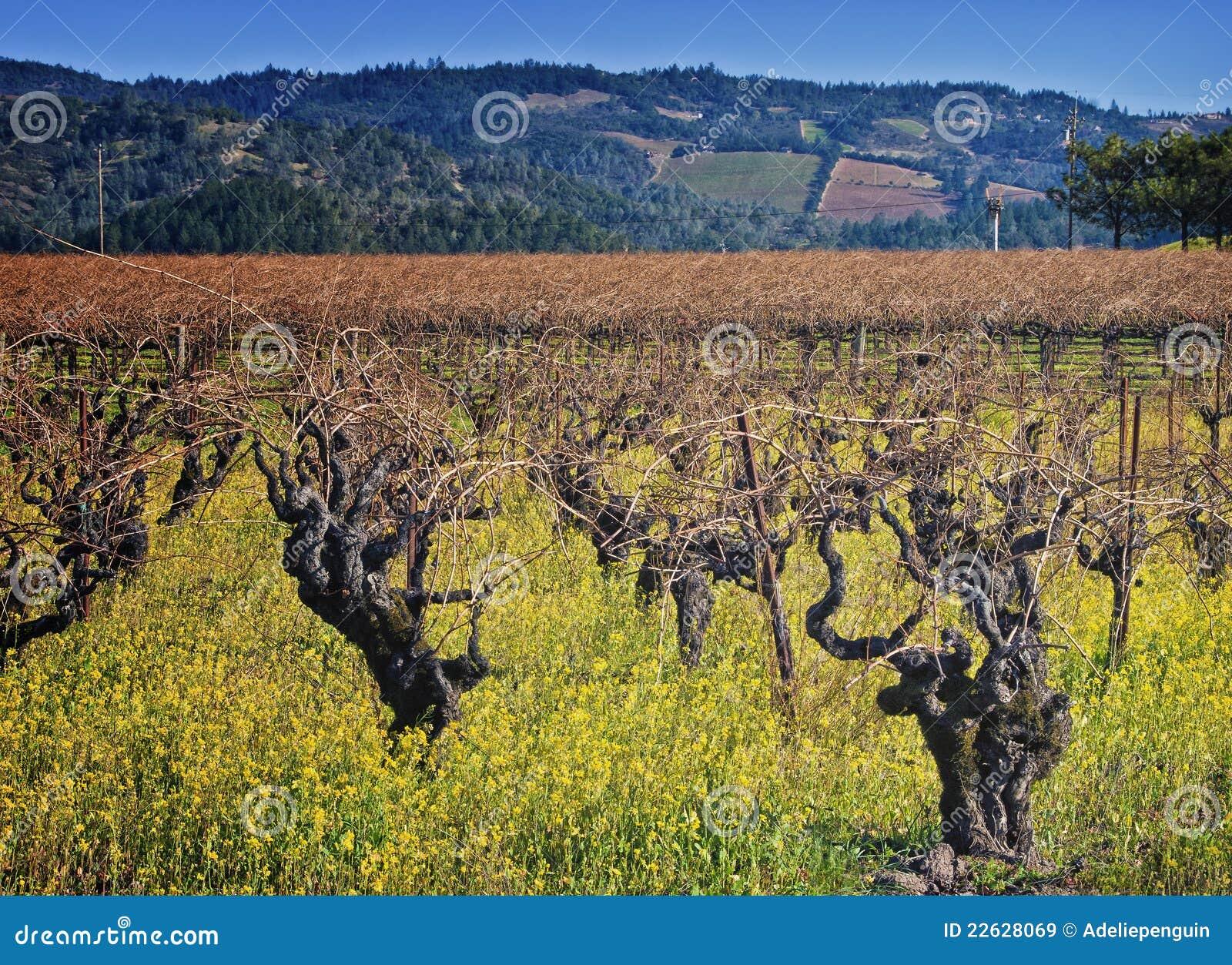 Fiori Gialli Vino.Vigna Del Napa Valley Paese Di Vino California Immagine Stock