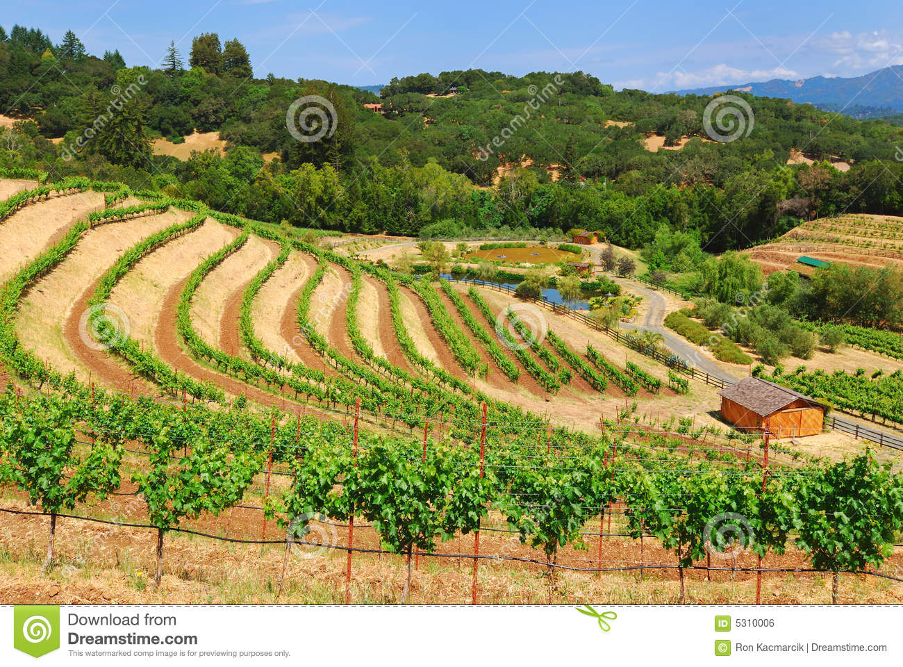 Download Vigna di Sonoma fotografia stock. Immagine di file, vigna - 5310006