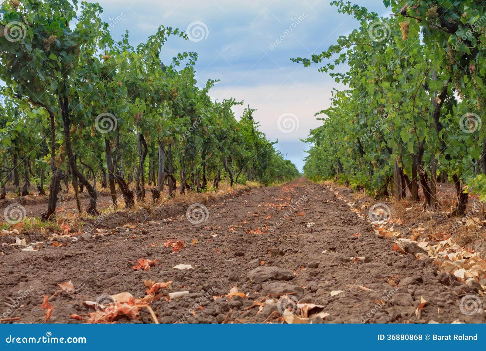 Download Vigna Nella Regione Del Vino Fotografia Stock - Immagine di ungheria, bevande: 36880868