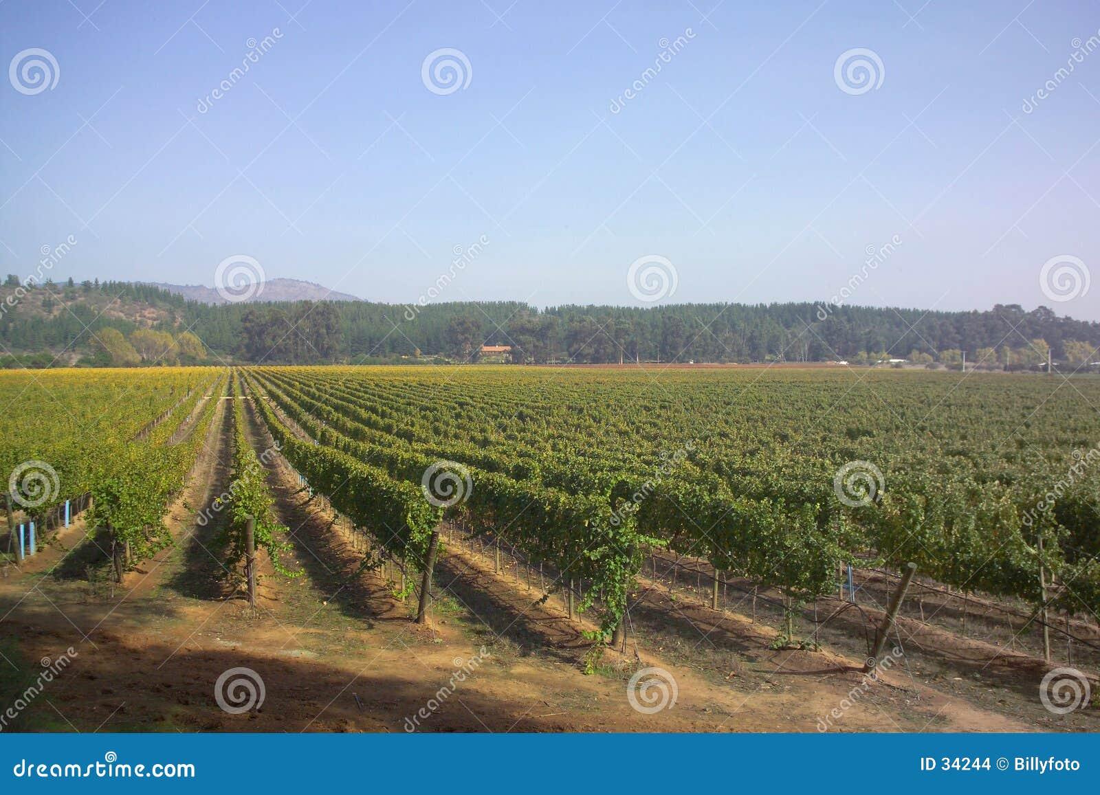 Vigne au Chili 1