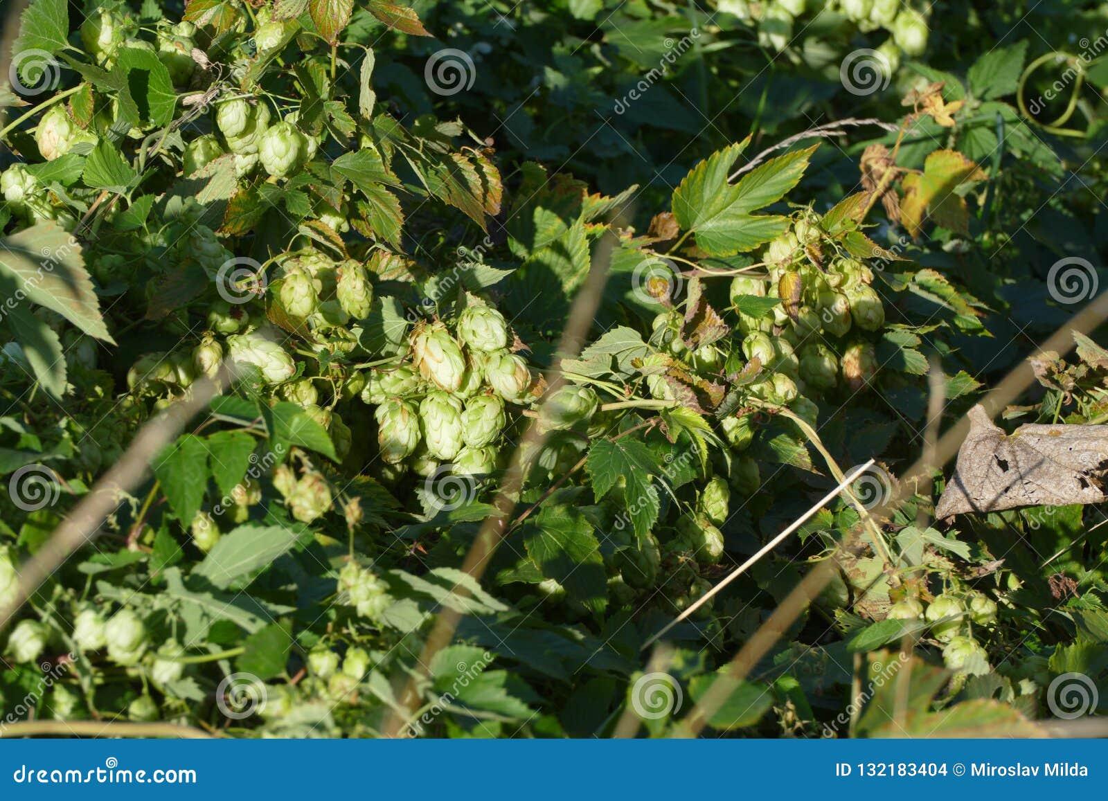 Vigne d houblon sauvage