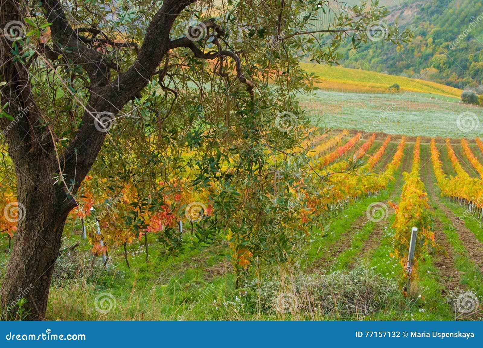 Vigne dans l automne