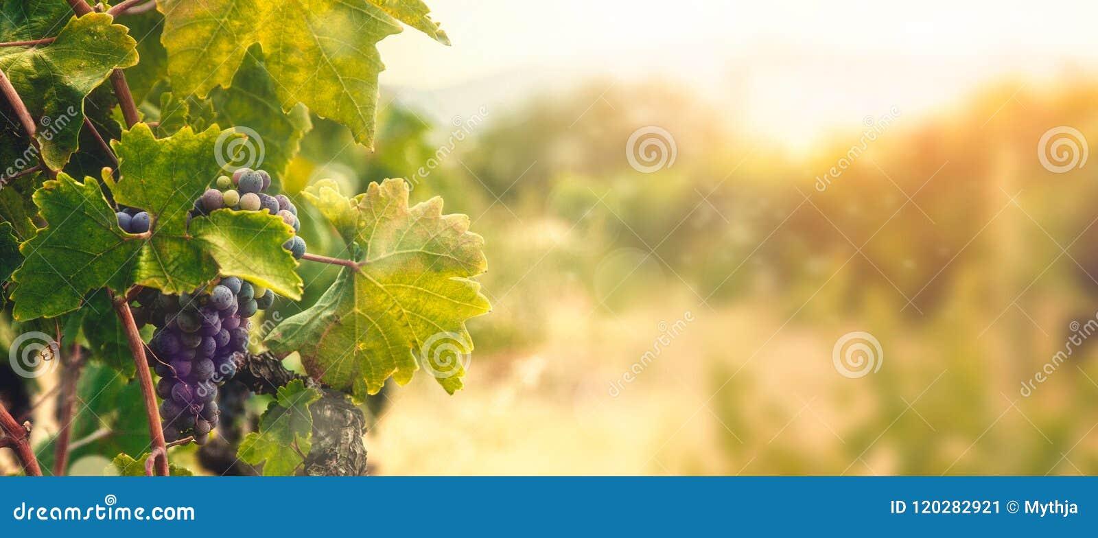 Vigne dans la moisson d automne