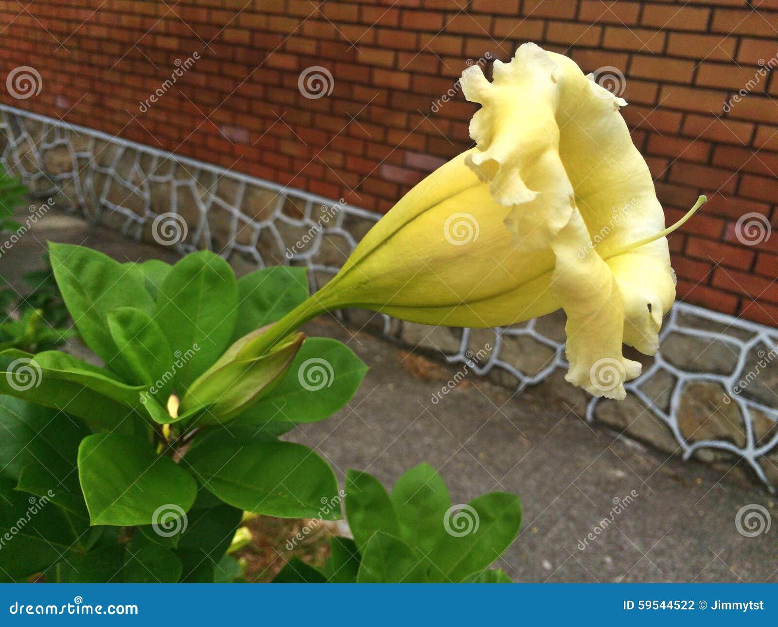 Vigne de calice fleur de trompette jaune photo stock image du grand singapour 59544522 - Fleur en forme de trompette ...