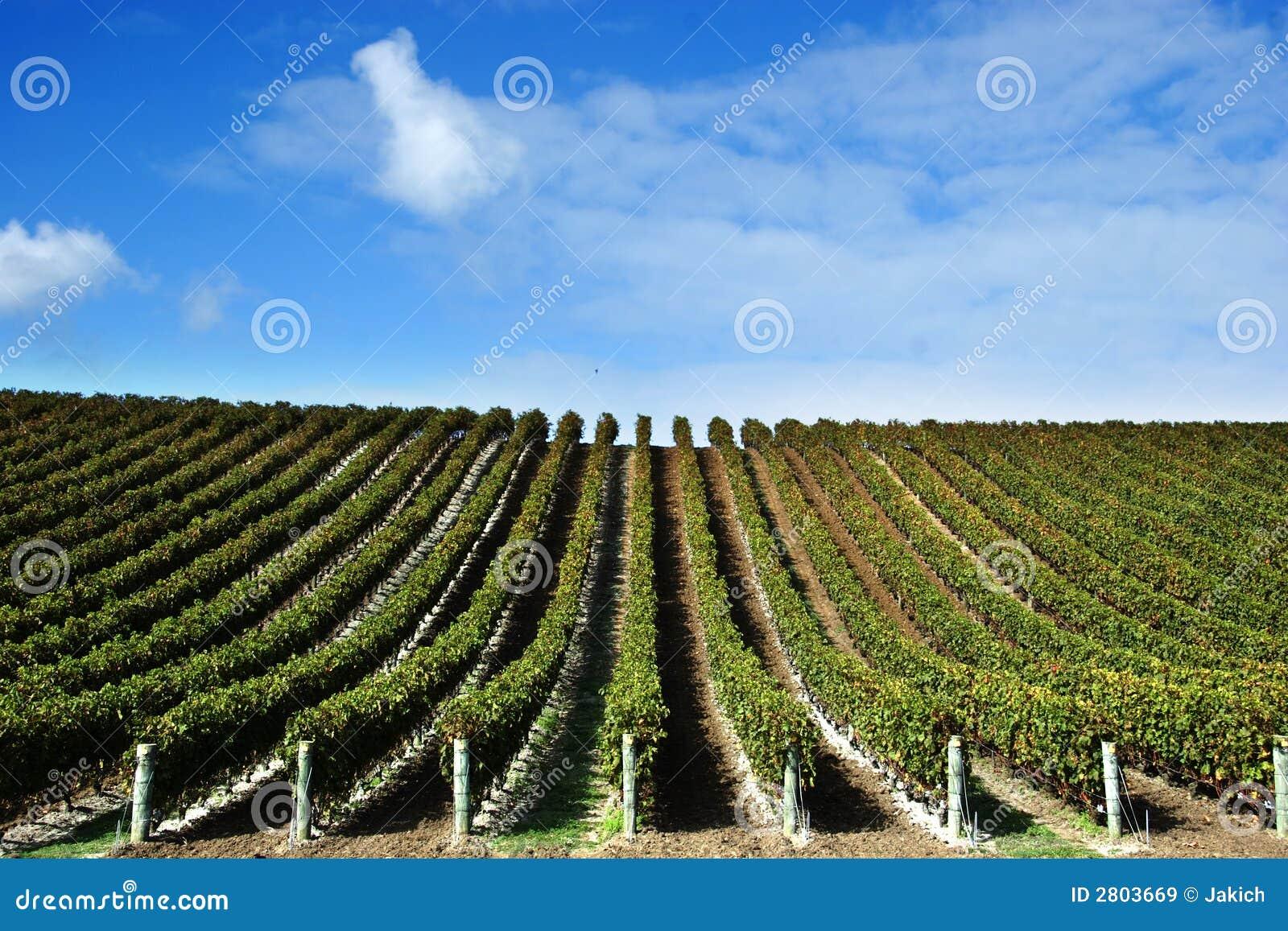 Vignes à l établissement vinicole