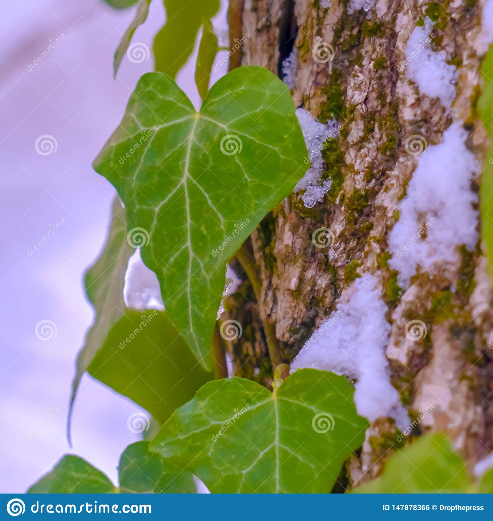 Vignes carrées avec les feuilles en forme de coeur s élevant sur un arbre avec la neige en hiver