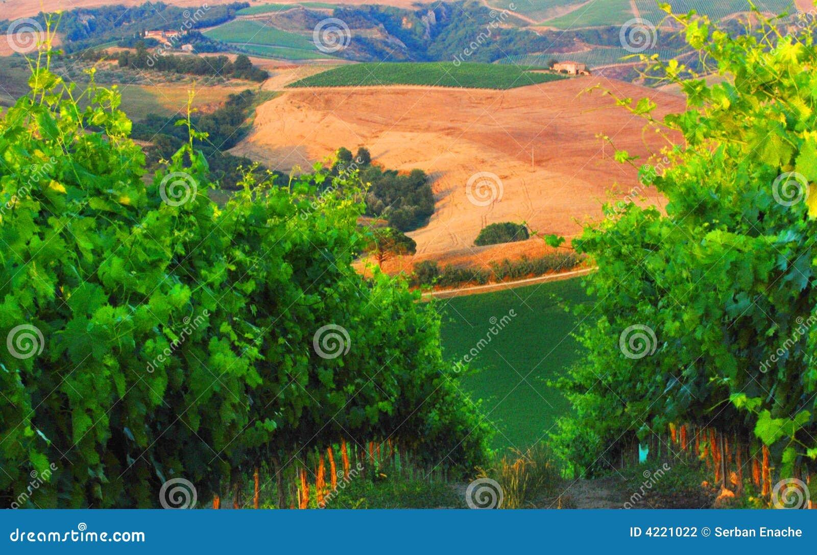 Vignes dans Chianti