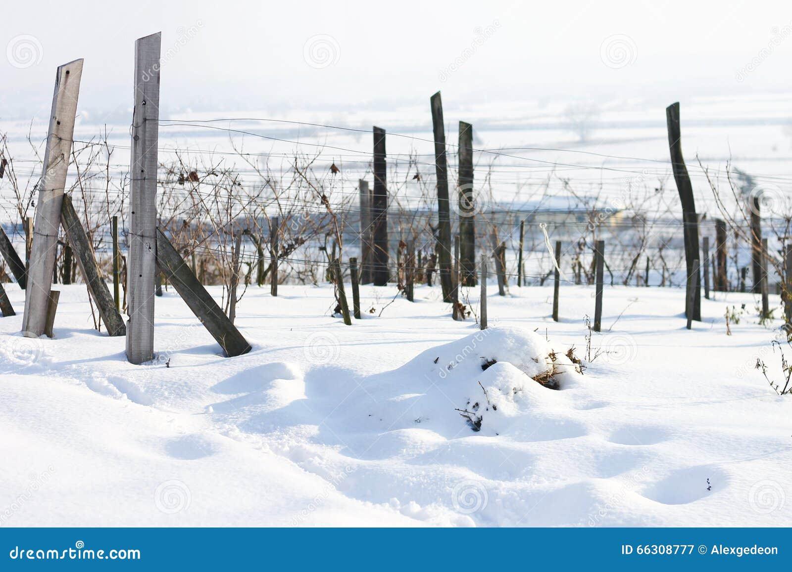 Vignoble dans la neige