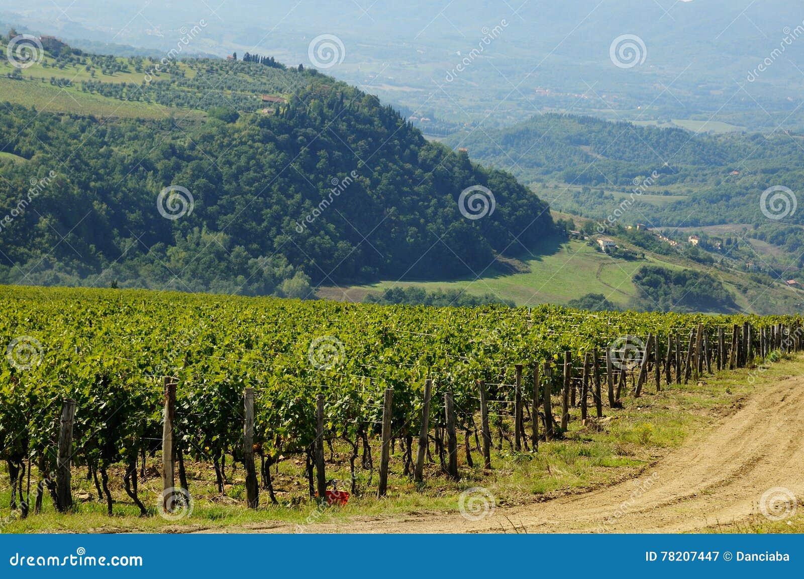 Vignoble dans le chianti, région de la Toscane
