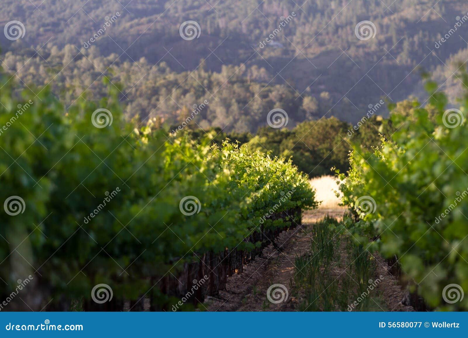 Vignoble en Californie