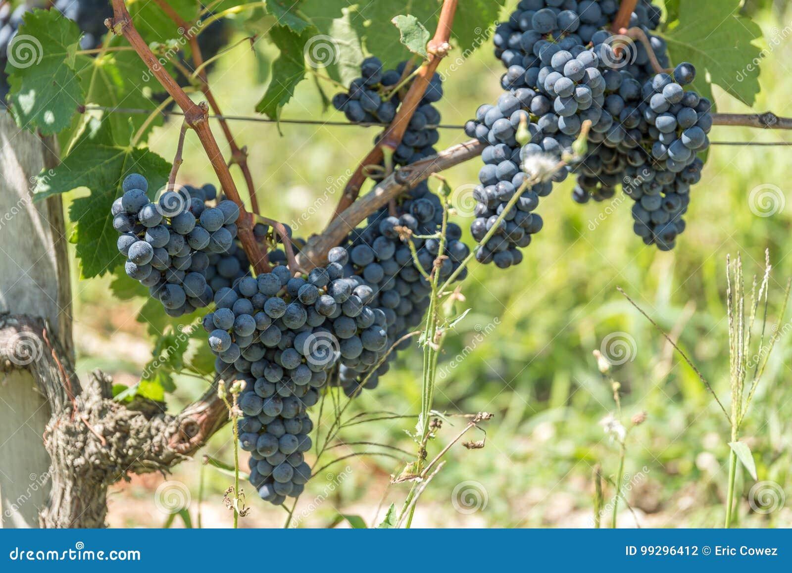 Vignoble et pamplemousse dans Medoc près de Bordeaux dans les Frances