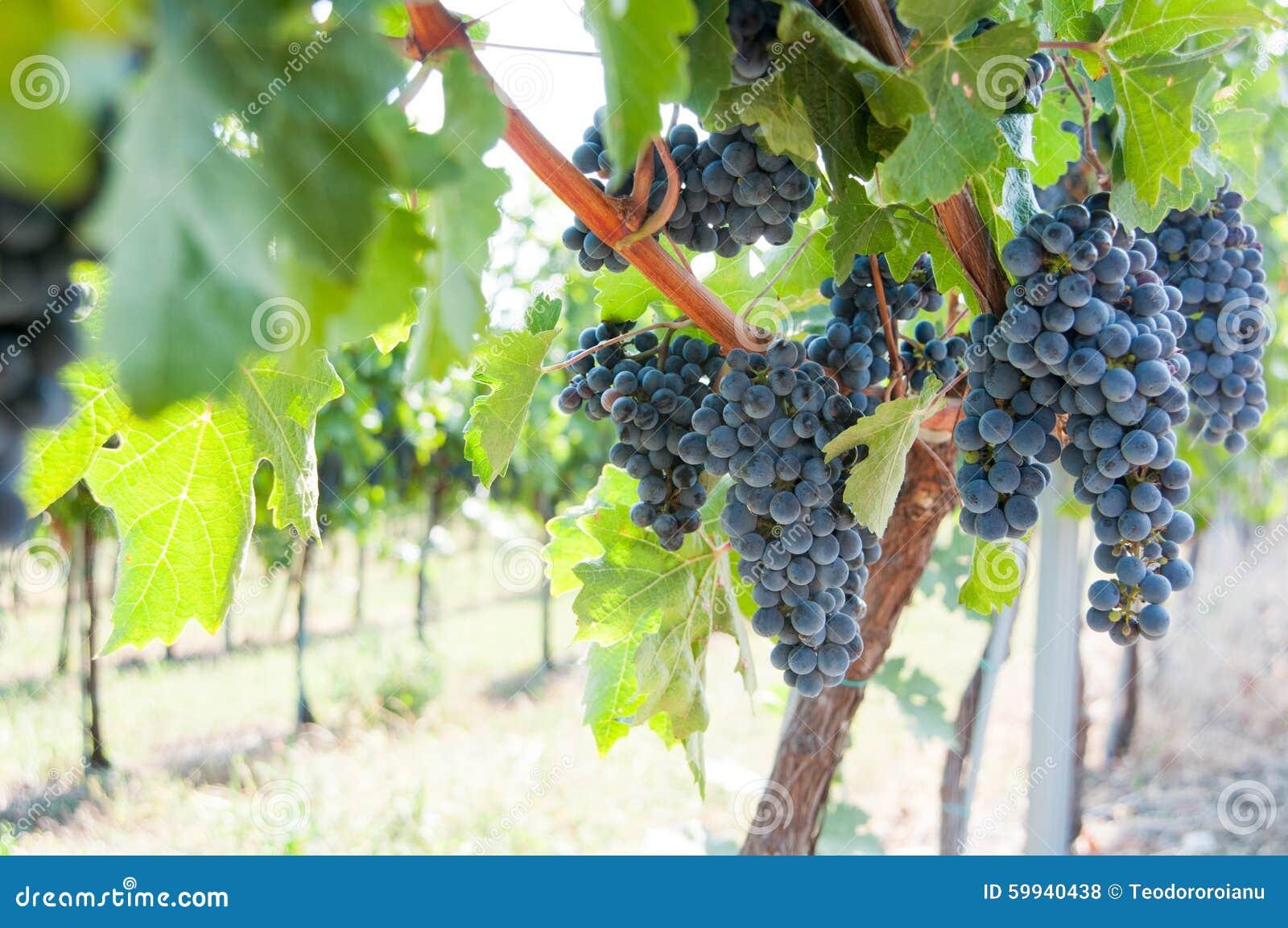 Vignoble noir de raisins