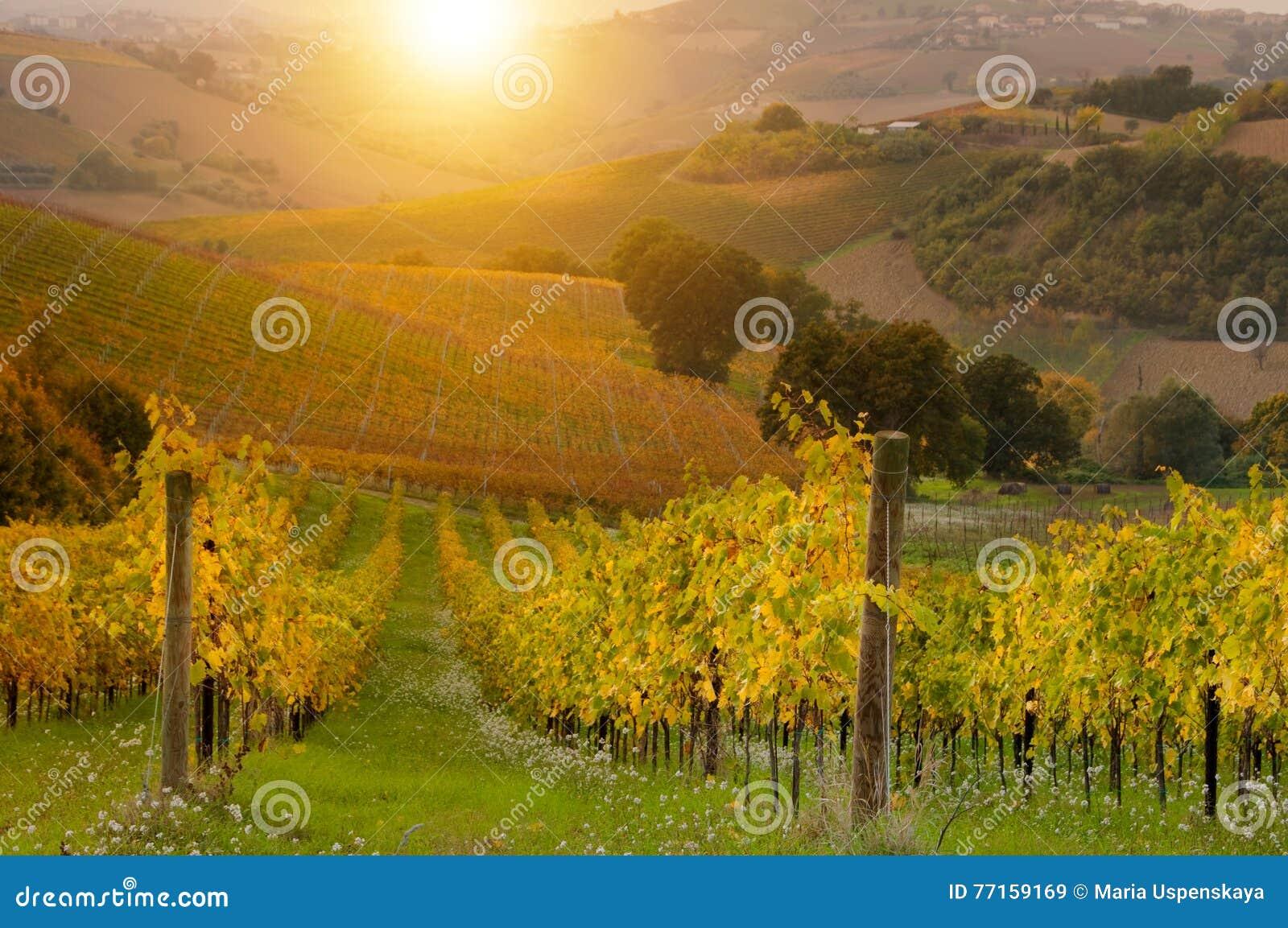 Vignoble sur le coucher du soleil