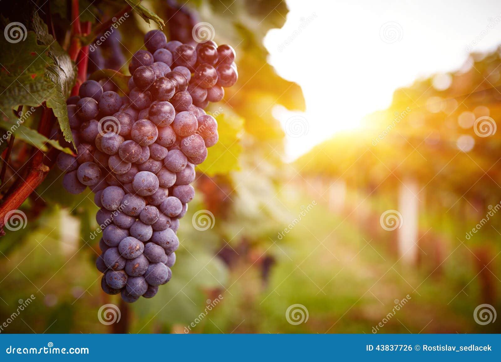 Vignobles au coucher du soleil dans la récolte d automne
