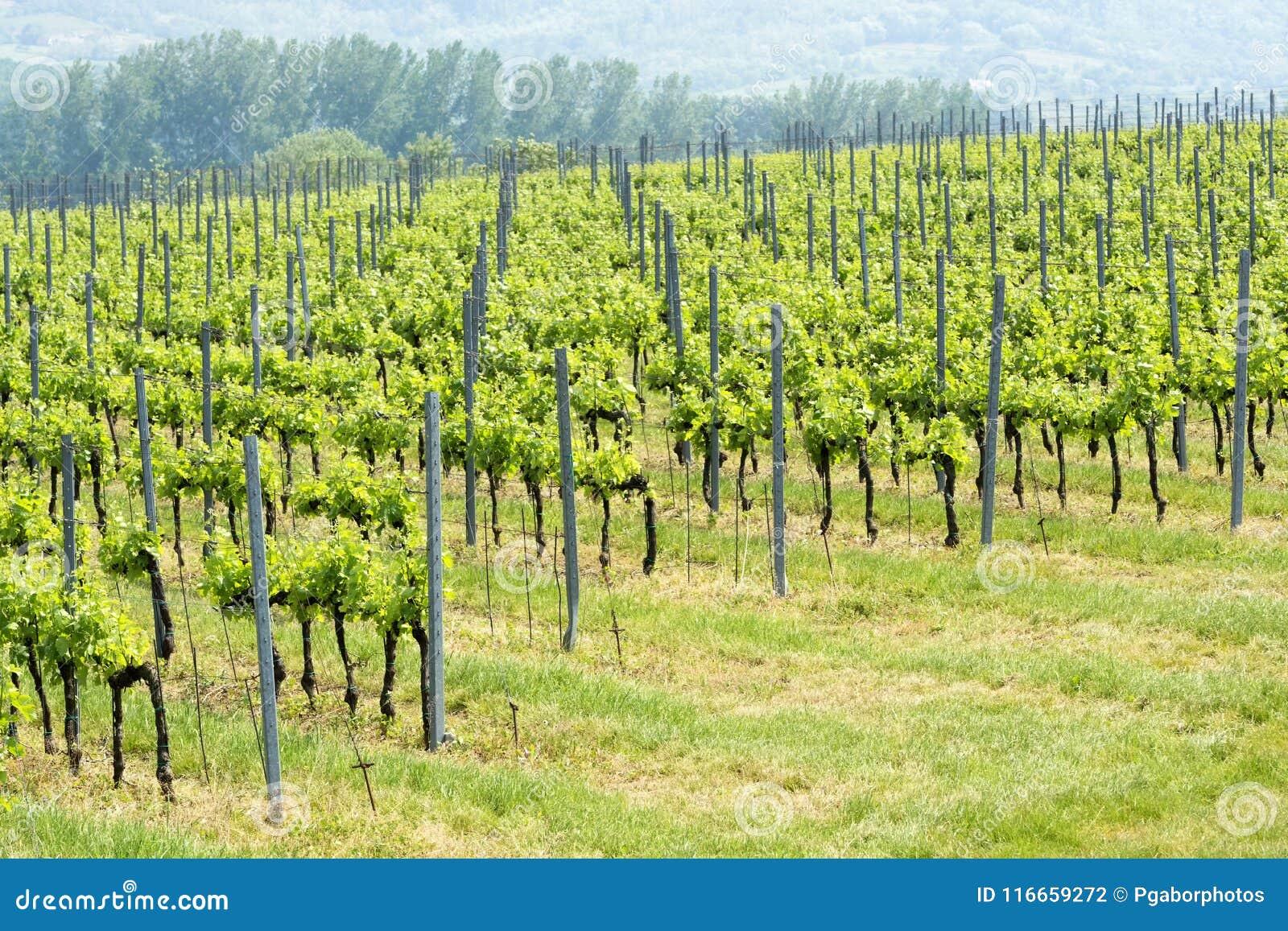 Vignobles dans le printemps chez le Lac Balaton