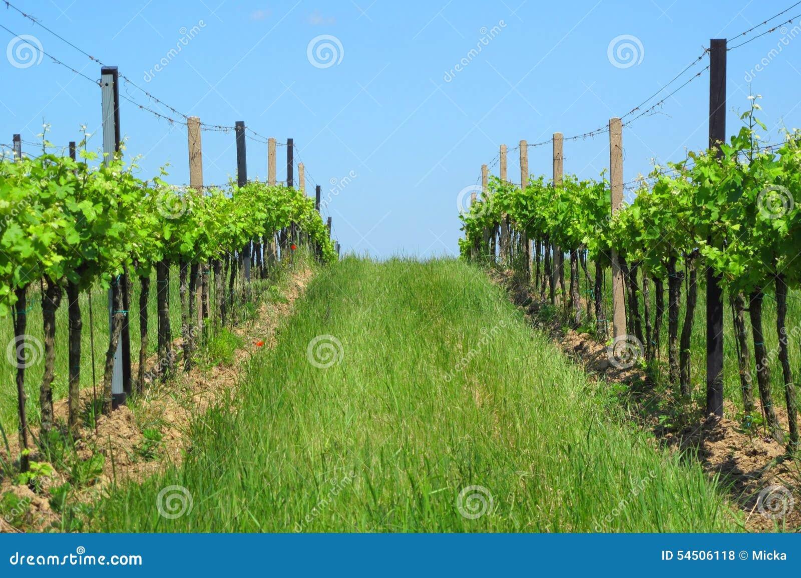 Vignobles en Moravie