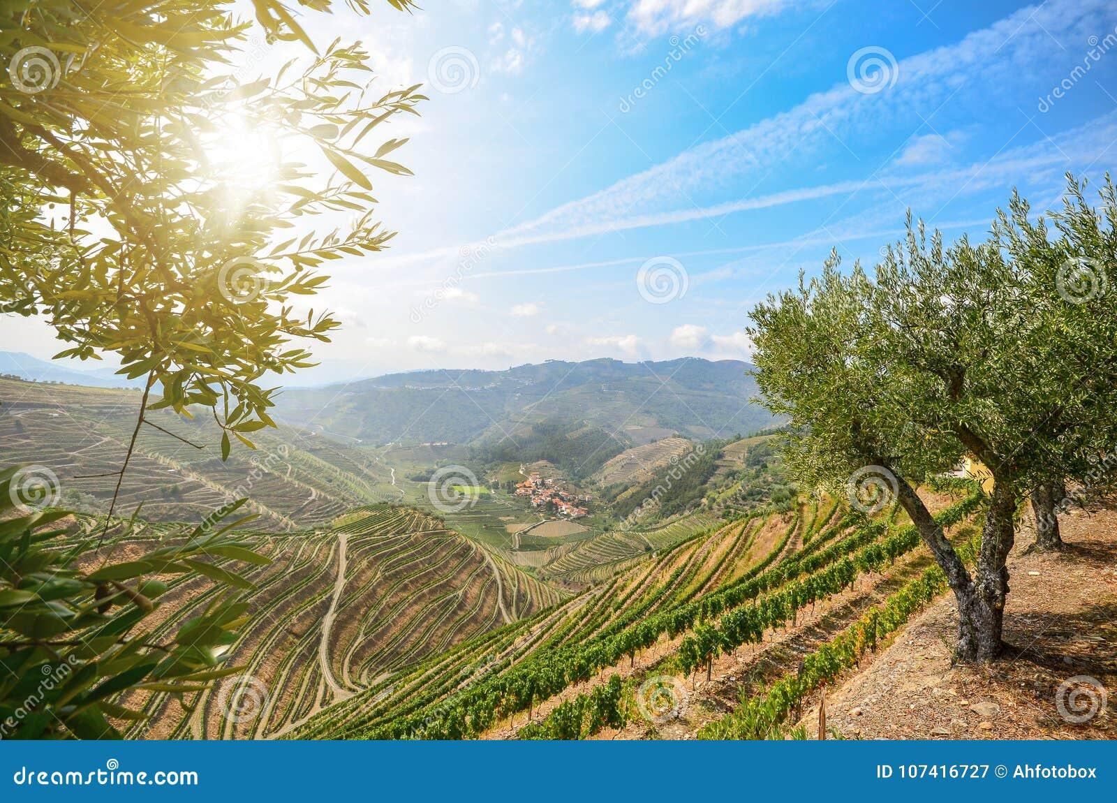 Vignobles et oliviers dans la vallée de Douro près de Lamego, Portugal