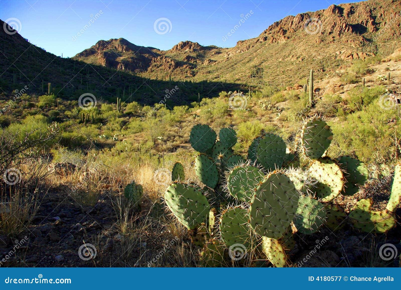 Vijgcactus in woestijn