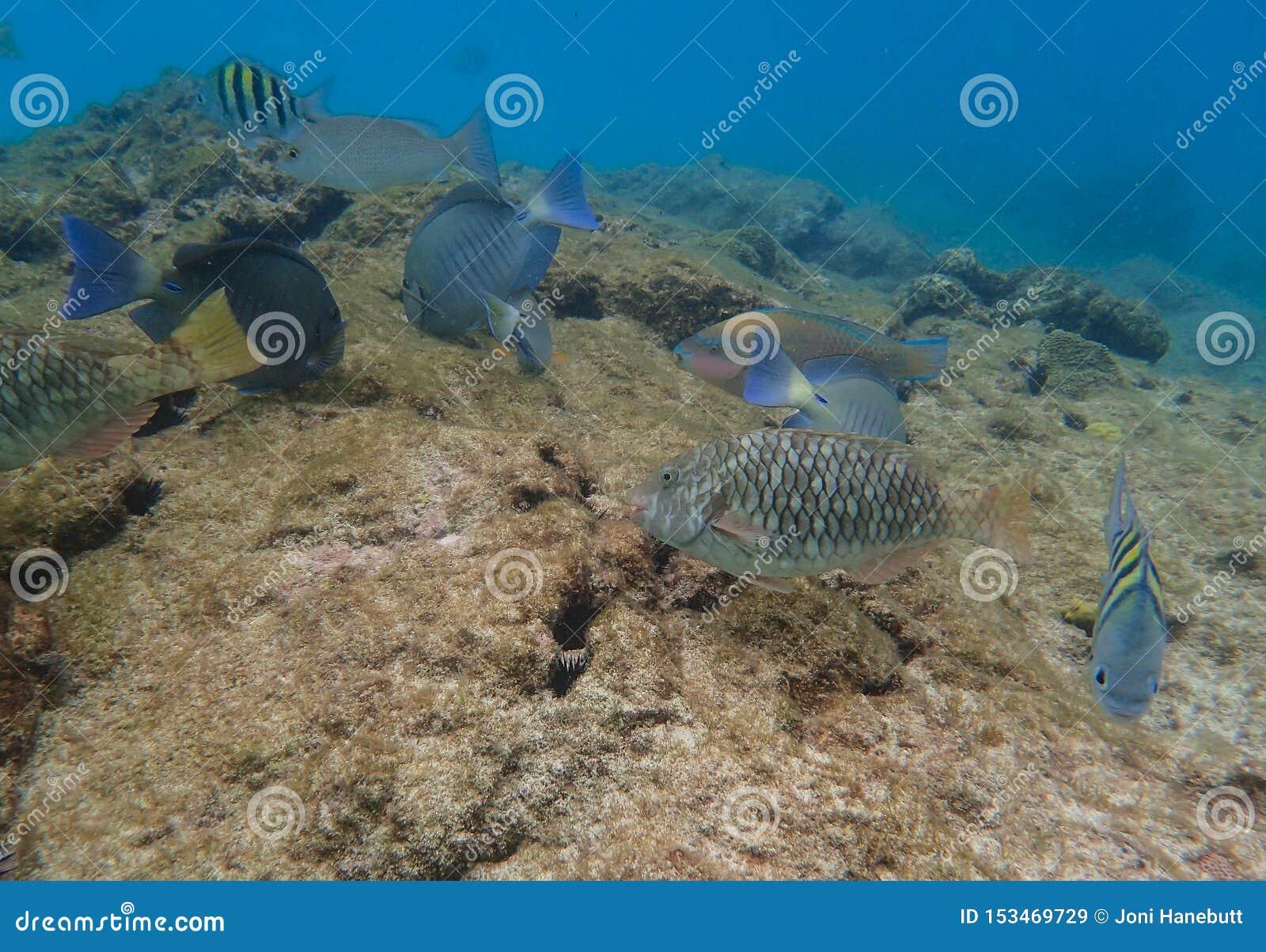 Viktig fisk för Parrotfish, för havSurgeonfish och Sargeant