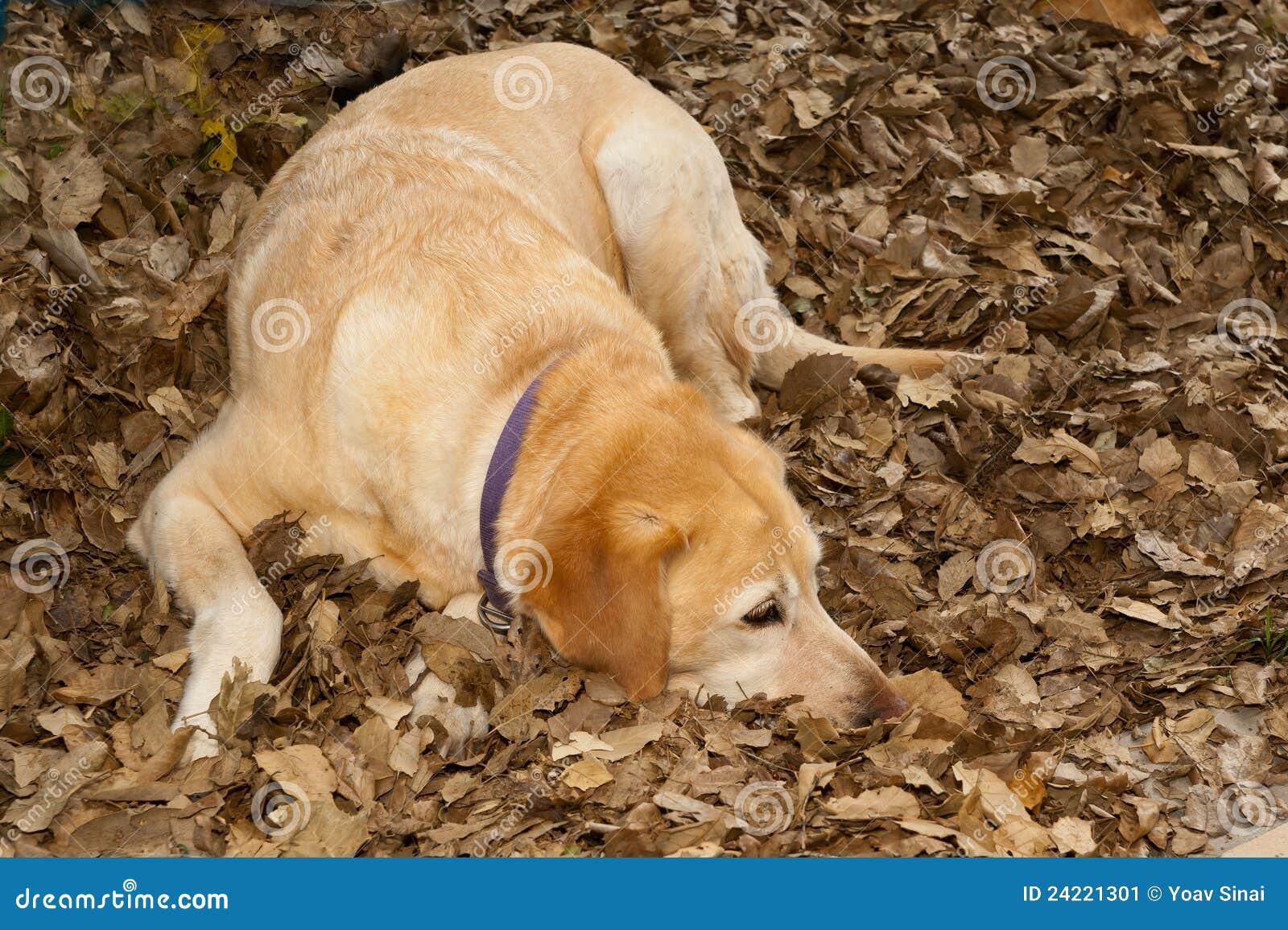 Vila för hund