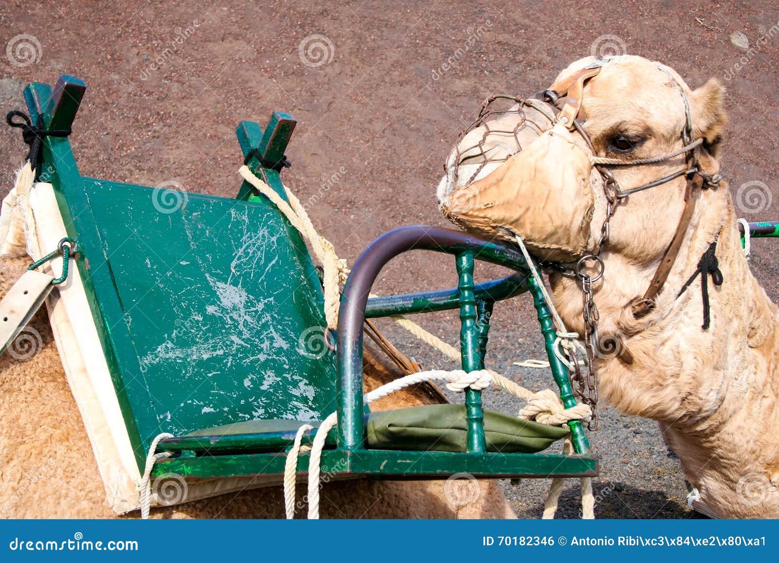 Vila för kamel