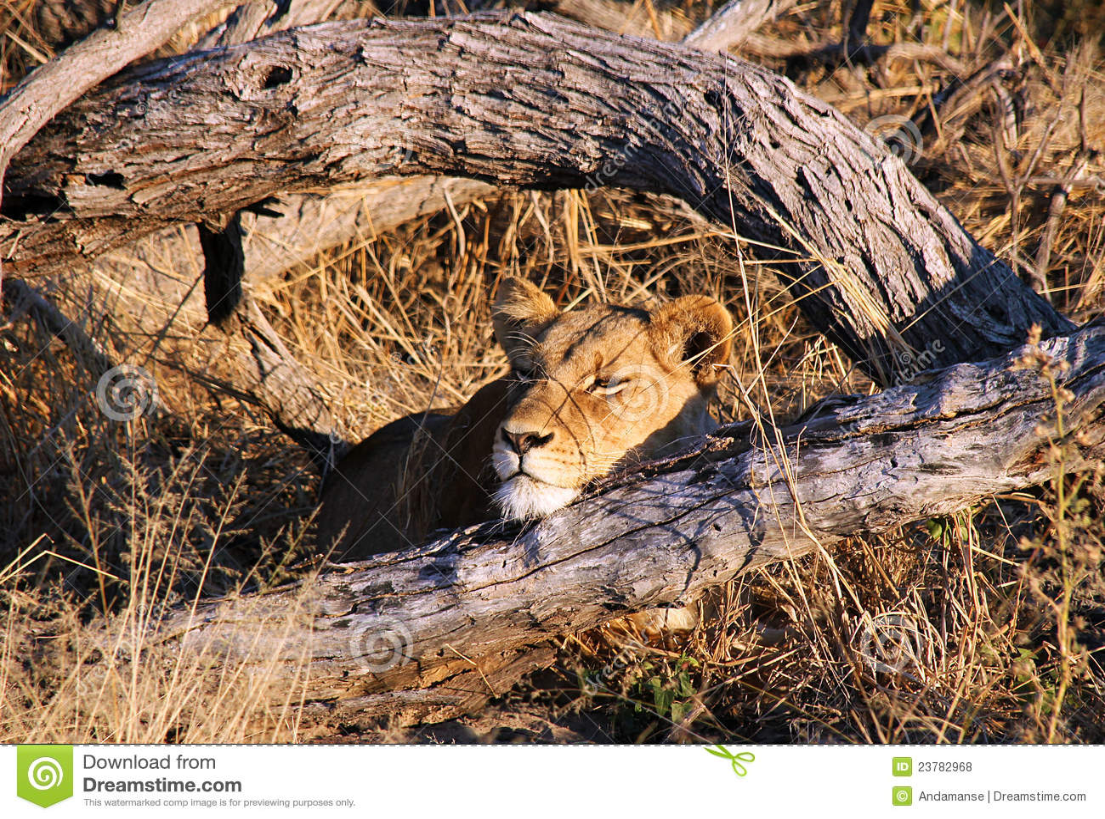 Vila för lioness